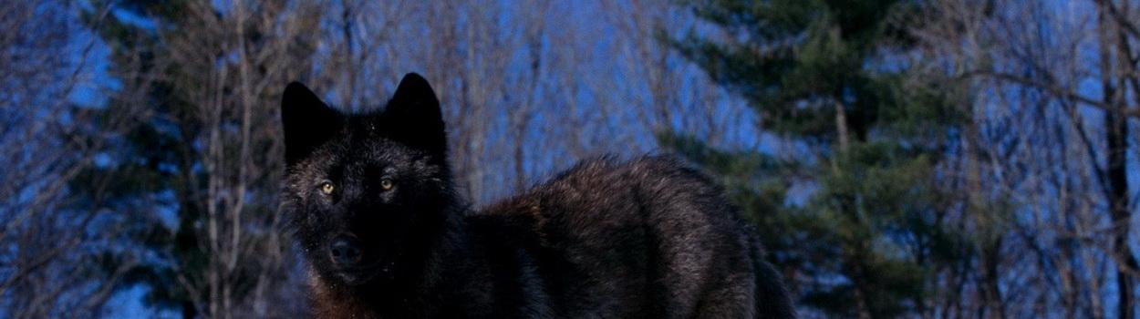 header-wolf.jpg